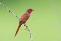 Crimson Finch, Neochima phaeton