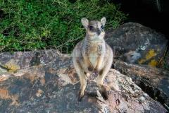 Godman's Rock Wallaby, Petrogale godmani