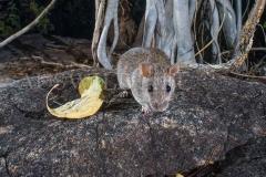 Kimberley Rock Rat (Zyzomys woodwardi)