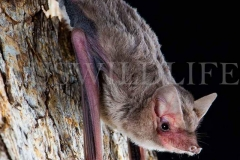 Bristle-faced Freetail Bat (Setirostris eleryi)