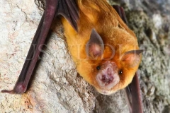 Orange Leaf-nosed Bat (Rhinonicteris aurantia)