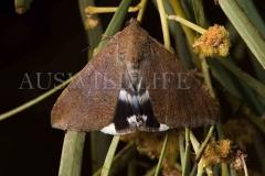 Noctuid Moth species (Achaea argilla)