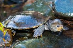 Southern Snapping Turtle (Elseya albagula)