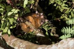 Coppery Brushtail Possum (Trichosurus vulpecula johnstonii)