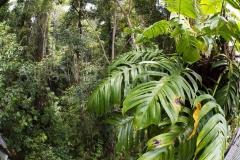 Australian Native Monstera (Epipremnum pinnatum)