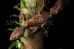 Northern Leaf-tailed Gecko (Saltuarius cornutus)