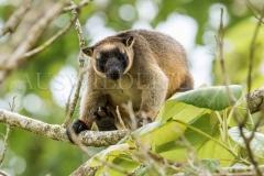 Lumholtz's Tree Kangaroo (Dendrolagus lumholtzi)