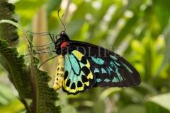 Cairns Birdwing Butterfly (Ornithoptera euphorion)