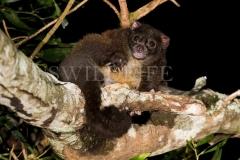 Lemuroid Ringtail Possum (Hemibelidus lemuroides)