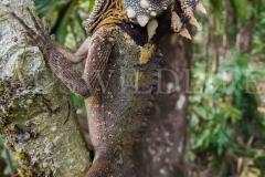 Boyd's Forest Dragon (Hypsilurus boydii)