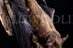 Western False Pipistrelle (Falsistrellus mackenziei)