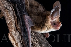 Western Long-eared Bat (Nyctophilus major major)
