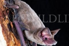 Western Freetail Bat (Ozimops kitcheneri)