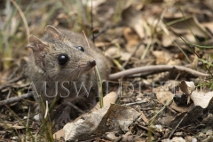 Common Dunnart (Sminthopsis murina)