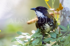 Eastern Whipbird (male) (Psophodes olivaceus)
