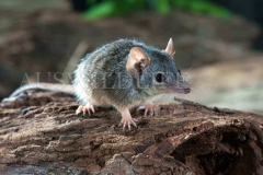 Yellow-footed Antechinus (Antechinus flavipes)