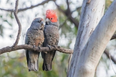 Gang Gang Cockatoo, Callocephalon fimbriatum