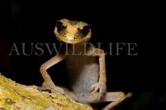Chameleon Gecko, Australia