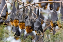 Grey-headed Flying Foxes, Australia