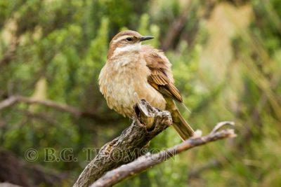 Bar-winged Cinclodes, Ecuador birds, wildlife images