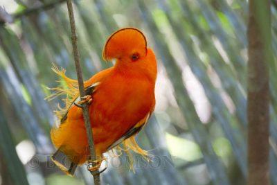 Guianan Cock-of-the-Rock, Brazil birds, Amazon, wildlife photography