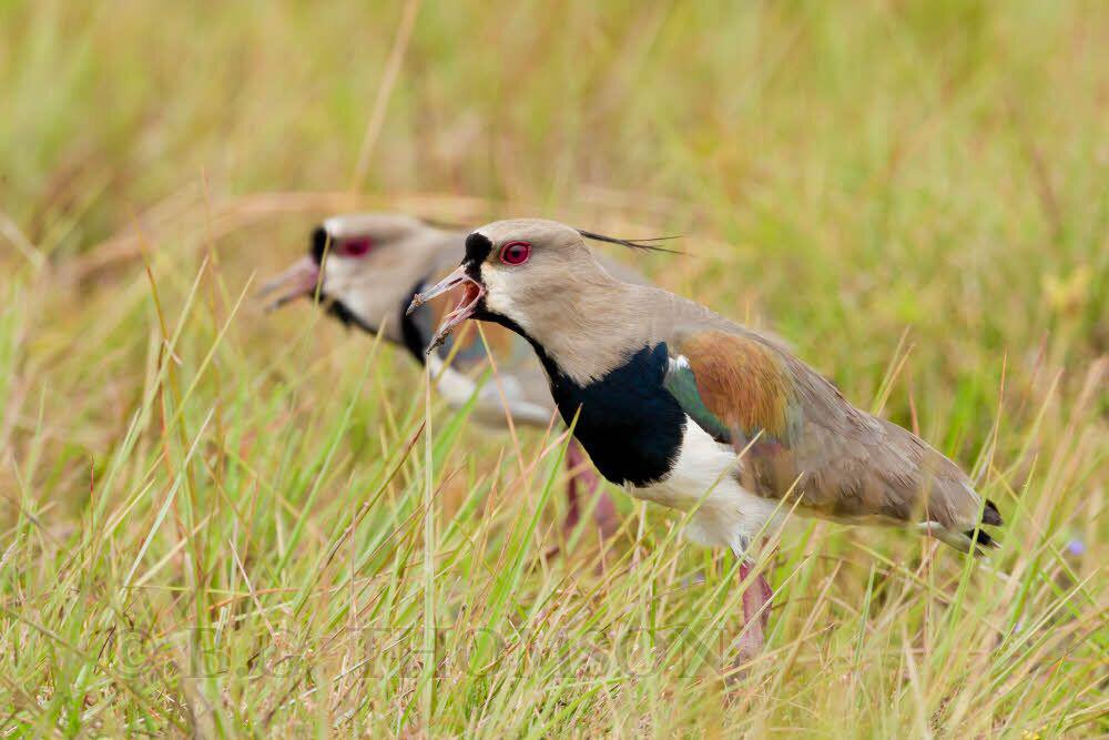 Southern Lapwing, Pantanal, Brazil, wildlife photography