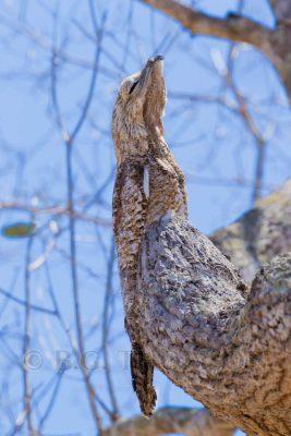 Great Potoo, Brazil - Pantanal. Camouflage. Wildlife photography