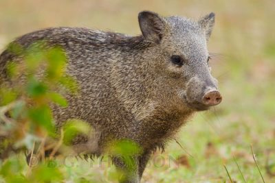 Collared Peccary, Brazil animals, wildlife images