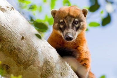 Coati, Brazil wildlife images, animals