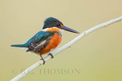 American Pygmy Kingfisher, Birds of Brazil, Pantanal, wildlife photography