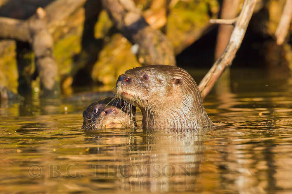 Neotropical River Otter, mother and baby. Brazil, wildlife photography