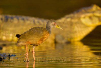 Grey-necked Wood Rail, Brazil birds, Pantanal, wildlife photography