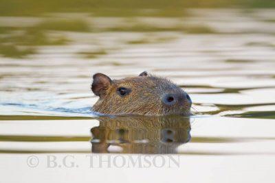 Capybara, swimming. Animals of Brazil, wildlife photography
