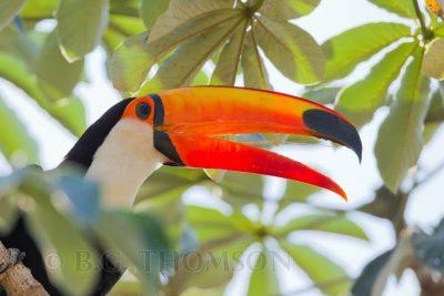 Toco Toucan, Brazil birds, Pantanal, wildlife images