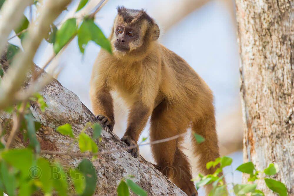 Brown Capuchin, Brazil animals, primates. Wildlife Photography