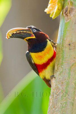 Chestnut-eared Aracari, Brazil birds, wildlife images, Pantanal
