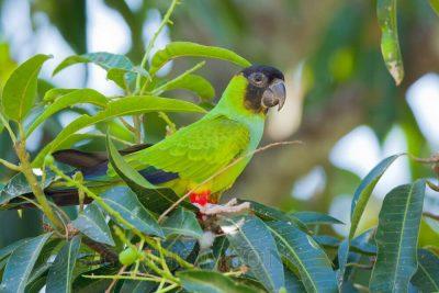 Nandy or Black-hooded Parakeet, Brazil birds, Pantanal. Wildlife images