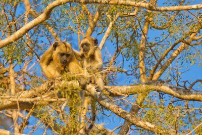 Black Howler Monkey, female and baby. Brazil animals, wildlife photography