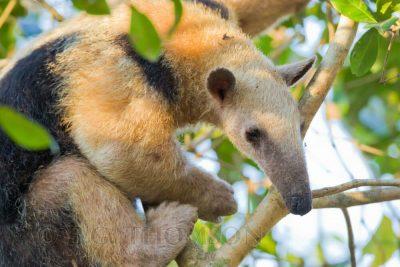 Southern Tamandua, Brazil animals, wildlife images