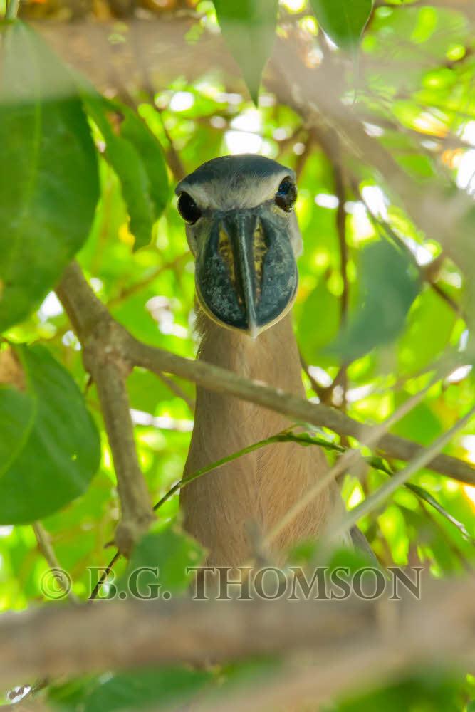 Boat-billed Heron, Costa Rica, wildlife, birds