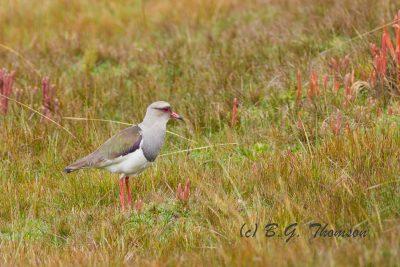 Andean Lapwing, Ecuador birds, wildlife images
