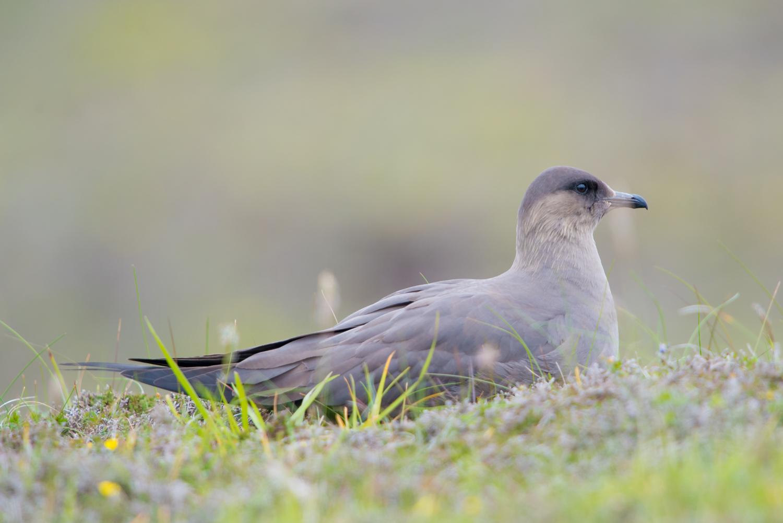Arctic Skua, Fair Isle, British seabirds, wildlife