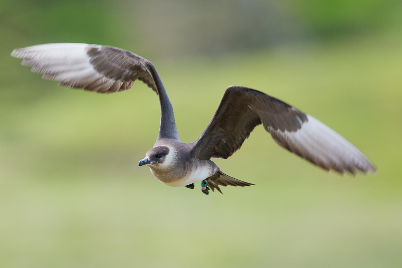 Arctic Skua, Fair Isle, UK. British birds, wildlife