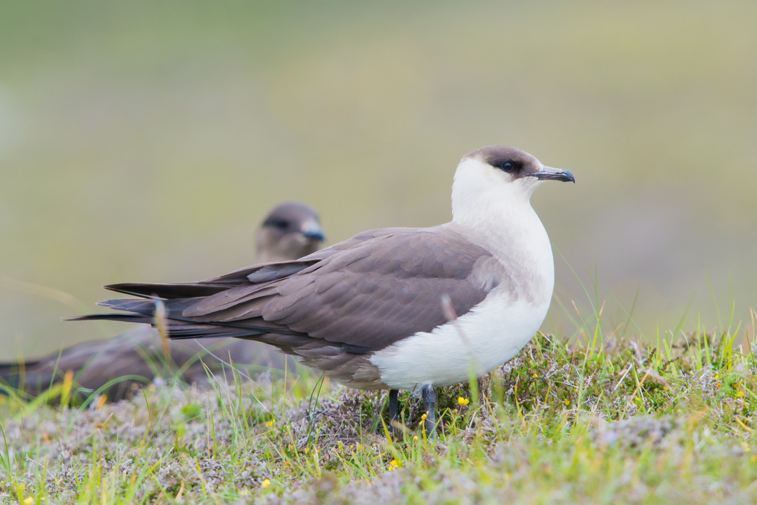 Arctic Skua, British birds, Fair Isle, UK