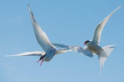 Arctic Terns, British birds, migratory seabirds, wildlife