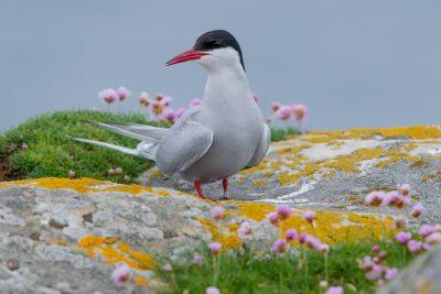 Arctic Tern, Fair Isle, British birds, wildlife