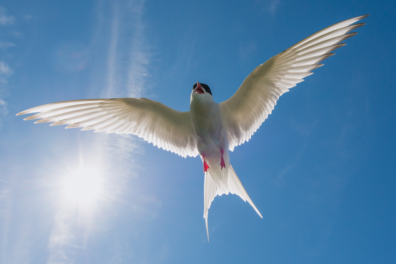 Arctic Tern, British wildlife, birds