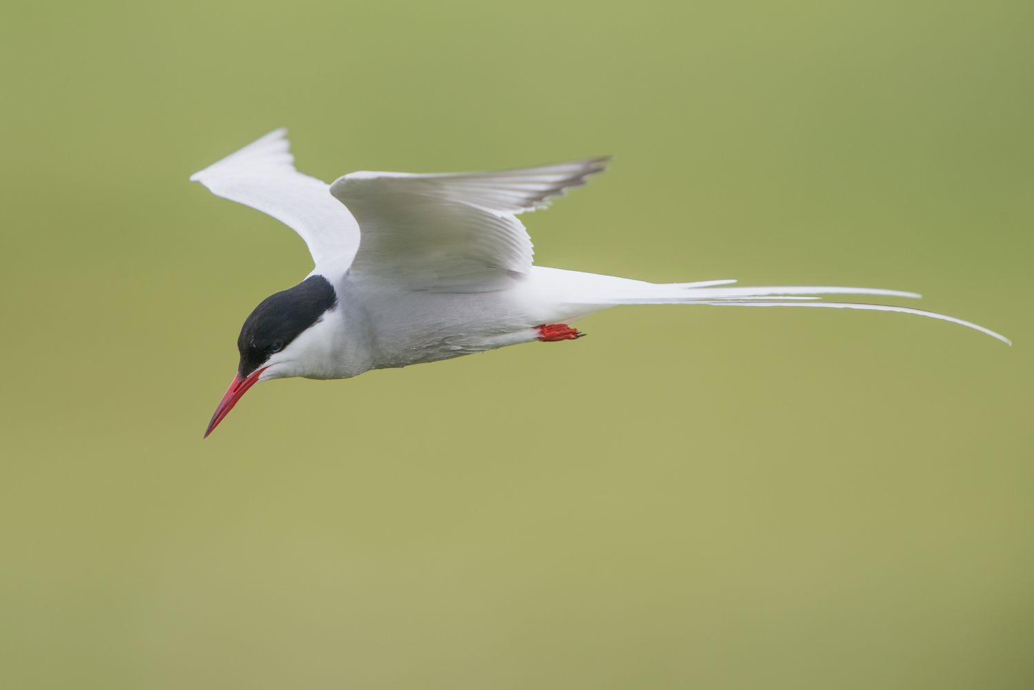 Arctic Tern, British birds, ocean birds, wildlife