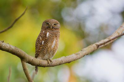 Asian Barred Owlet, birds of India, wildlife photography