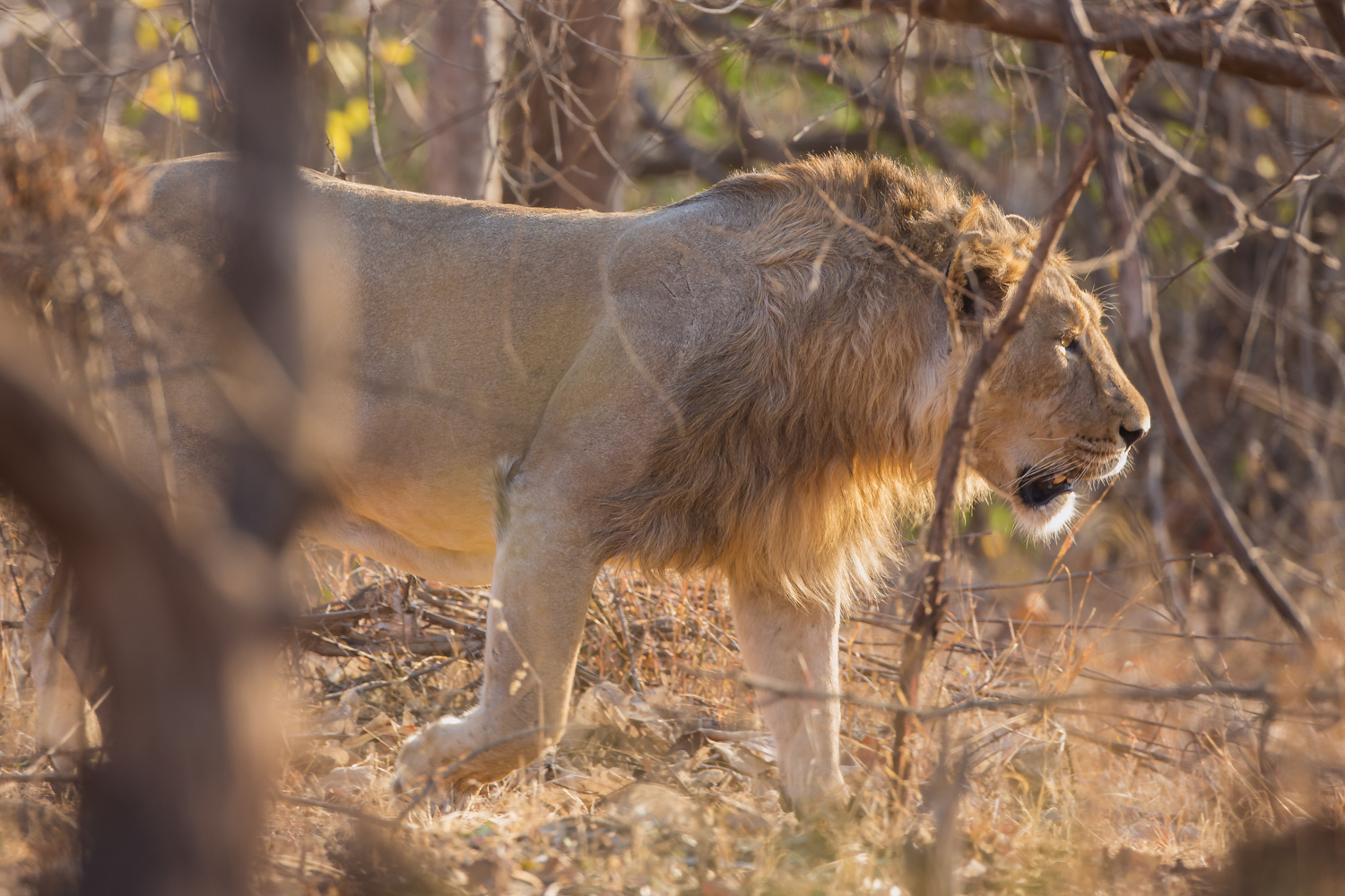 Asiatic Lion on the prowl. Big cats, threatened species, wildlife